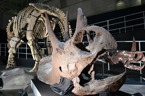 国内初】トリケラトプスの仲間の化石発見(鹿児島県): ichigen-sanの ...